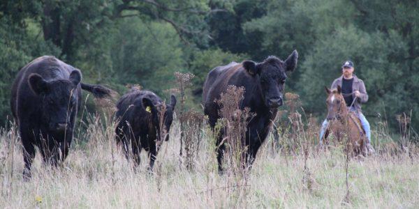 Weideabtrieb mit Westernpferden